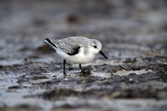 Sanderling, Calidris alba Royalty Free Stock Image