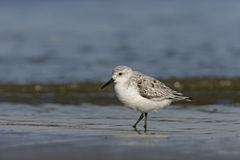 Sanderling,  Calidris alba Stock Images