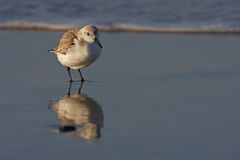 Sanderling (Calidris alba) standing in surf. Sanderling (Calidris alba), in winter plumage standing in surf with reflection in water at sunrise Royalty Free Stock Photo