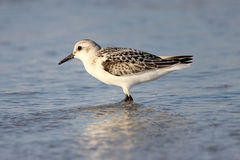 Sanderling. A sanderling (Calidris alba) standing in the water at a beach in Massachusetts Stock Photos