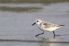 Sanderling (Calidris alba) in winter plumage foraging on the ocean coast. Royalty Free Stock Photo