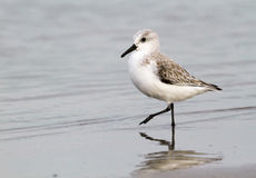 Sanderling (Calidris alba) in winter plumage foraging on the ocean coast. Stock Photo