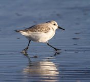 Sanderling (Calidris alba) in winter plumage on the ocean coast. Royalty Free Stock Images