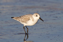 Sanderling (Calidris alba) in winter plumage on the ocean coast at sunset Stock Photography