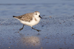 Sanderling (Calidris alba) in winter plumage on the ocean coast at sunset. Royalty Free Stock Photos