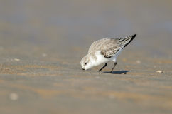 Sanderling (Calidris albumy) Obraz Royalty Free