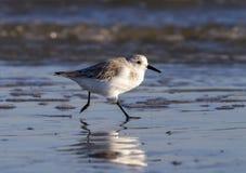 Sanderling (Calidrisalbum) i vinterfjäderdräktspring på havkusten Arkivbilder