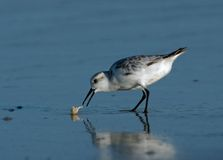 Sanderling catching Sand Crab. Sanderling (Calidris alba) catching a Sand Crab in the surf royalty free stock photos