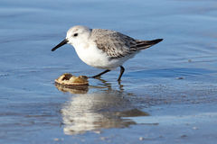 Sanderling with a Crab Shell Royalty Free Stock Photos