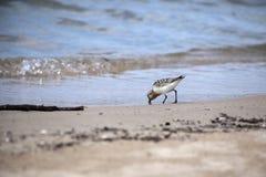 Sanderling, der auf Strand einzieht stockfoto