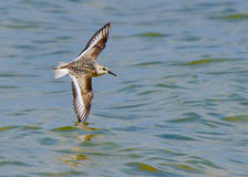 Sanderling dompelt wingtip in water onder Stock Fotografie