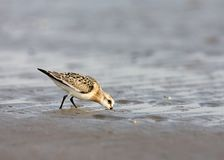Sanderling, Drieteenstrandloper, alba Calidris stock foto