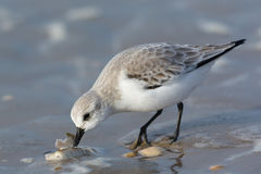 Sanderling eating Royalty Free Stock Images
