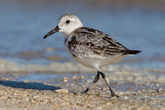 Sanderling (Erolia alba) Royalty Free Stock Photos