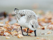Sanderling Feeding. Sanderling (shorebird peep) feeding at the shore Stock Photo