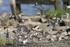 Sanderling Flock Coming in for a Landing Stock Photo