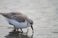 Sanderling in Japan Stock Images