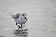 Sanderling in Japan Royalty Free Stock Photo