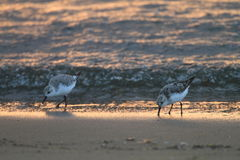 Sanderling in Japan Stock Photo
