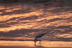 Sanderling in Japan Royalty Free Stock Photography