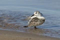 Sanderling juvenil que se atusa sus plumas en una playa del lago Hurón Fotos de archivo libres de regalías