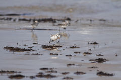 Sanderling life. Sanderling fighting for a worm on on a beach from the north of Portugal (shallow DOF Royalty Free Stock Images