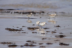 Sanderling life. Sanderling fighting for a worm on on a beach from the north of Portugal (shallow DOF Stock Images