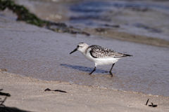 Sanderling. Looking for food on a beach from the north of Portugal Royalty Free Stock Images