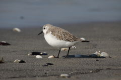Sanderling Stock Photo