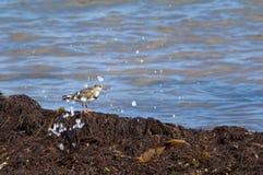 Sanderling nästan havet royaltyfria foton