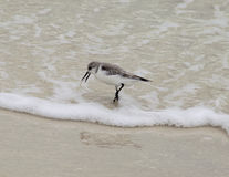 Sanderling na água Fotos de Stock