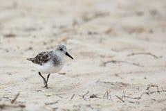 Sanderling odprowadzenie na plażowym piasku Zdjęcie Stock