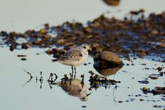 Sanderling. This is one of the smallest shore wading birds in the U.S. and they are not common to this area stock photo