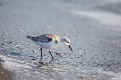 Sanderling på shoreline arkivbild