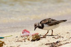 Sanderling and Prey. Cute sanderling seabird pecking away at a peace of seafood on the white sands of Anse Royale beach, Mahe island, Seychelles Stock Image