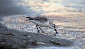 Sanderling que alimenta no crepúsculo Foto de Stock Royalty Free