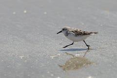 Sanderling que corre em uma praia - península de Bolivar, Texas Fotografia de Stock