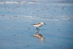 Sanderling Stock Photos