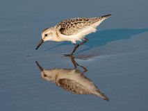 Sanderling reflections. A Sanderling (a shorebird) on the beach, reflected in the water, taken in Freeport, Texas Stock Photos