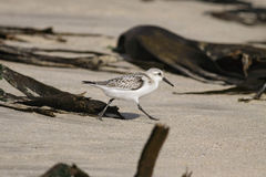 Sanderling. Running on a beach from the north of Portugal Stock Photo