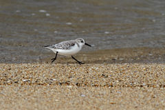 Sanderling running on a beach. From the north of Portugal Stock Photography
