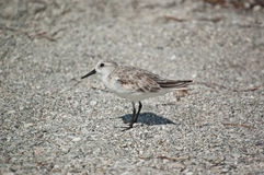 Sanderling on the Sand Stock Images