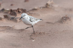 Sanderling in Sand Stock Images
