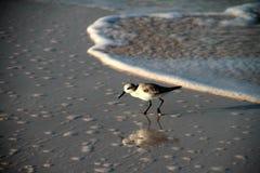 Sanderling. Bird on the beach Royalty Free Stock Photo