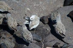 Sanderling. Sanderling Calidris alba. Arinaga Beach. Aguimes. Gran Canaria. Canary Islands. Spain Stock Photos