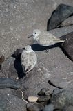 Sanderling. Sanderling Calidris alba. Arinaga Beach. Aguimes. Gran Canaria. Canary Islands. Spain Royalty Free Stock Image