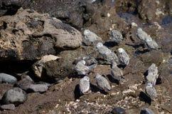 Sanderling. Sanderling Calidris alba. Playa de Arinaga. Agüimes. Gran Canaria. Canary Islands. Spain Royalty Free Stock Image