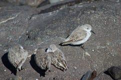 Sanderling. Sanderling Calidris alba. Playa de Arinaga. Aguimes. Gran Canaria. Canary Islands. Spain Stock Photo
