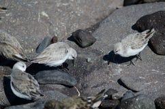 Sanderling. Sanderling Calidris alba. Playa de Arinaga. Aguimes. Gran Canaria. Canary Islands. Spain Stock Image