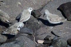 Sanderling. Sanderling Calidris alba. Playa de Arinaga. Aguimes. Gran Canaria. Canary Islands. Spain Stock Photos